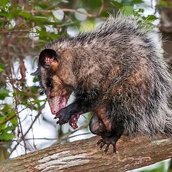 """""""Gambá-de-orelha-preta (Didelphis aurita) fotografado em Guarapari, Espírito Santo -  Sudeste do Brasil. Bioma Mata Atlântica. Registro feito em 2008.<br /> <br /> <br /> <br /> ENGLISH: Big-eared opossum photographed in Guarapari, Espírito Santo - Southeast of Brazil. Atlantic Forest Biome. Picture made in 2008."""""""