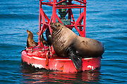 Steller sea lion (Eumetopias jubatus) on harbor buoy, Ventura, California USA