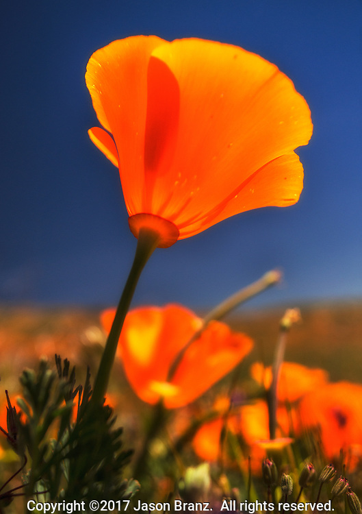 Close-up macro view of a California poppy wildflower in the Antelope Valley of southern California.