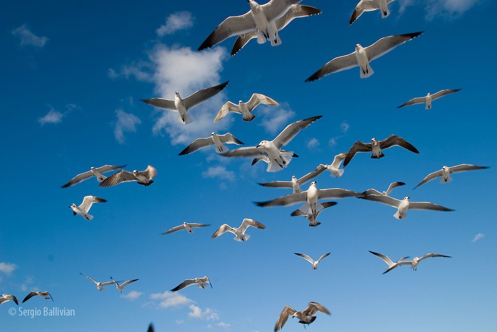 Seagulls in flight over the Atlantic ocean on a beach in Miami Beach, Florida