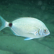 Spotail Pinfish inhabit seagrass beds, inshore reefs and areas of rocky rubble in Florida and north to Virgina; picture taken Panama City, Panhandle FL.