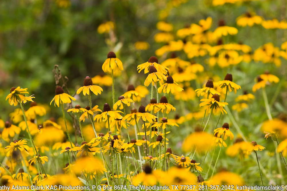 Clasping-leaved coneflower (Dracopis amplexicaulis), Wildflowers, Washington County, Texas