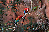 A red-and-green macaw (Ara chloroptera) in the Bonito area, Mato Grosso do Sul, Brazil