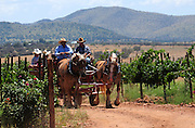 Horse-drawn wagon tours of Sonoita Vineyards are offered by Arizona Horseback Experience at Augustfest, the Sonoita Vineyards Harvest Festival, in Elgin, Arizona, USA.