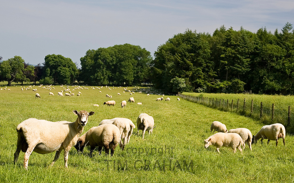 Sheep on a Dorset farm, United Kingdom