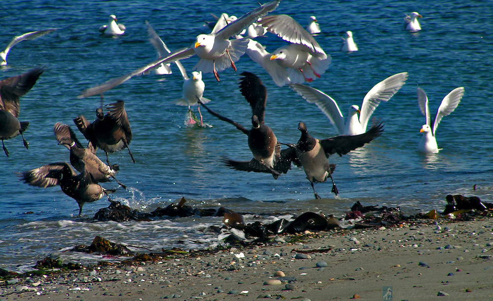 Geese and gulls startled into flight at Marrowstone Point