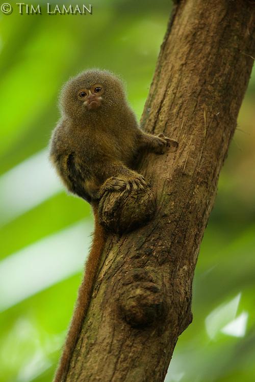 Pygmy Marmoset (Callithrix pygmaea) in Yasuni National Park, Orellana Province, Ecuador