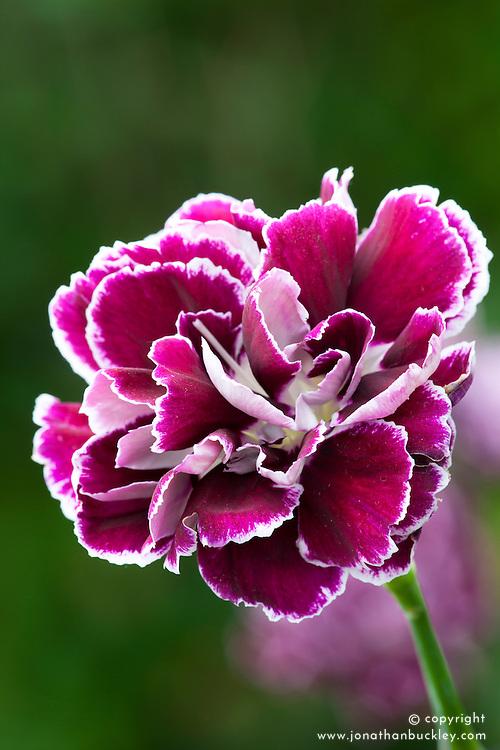 Dianthus 'Minerva'. Perpetual flowering carnation