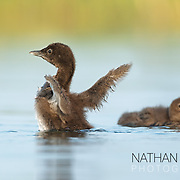 Loon chick stretching wings;  Minnesota.