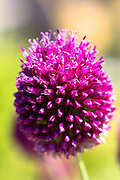 Purple Allium sphaerocephalon wildflower in garden in The Cotswolds, England, UK