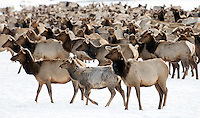 Elk count on National Elk Refuge