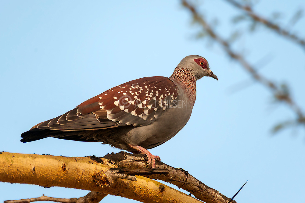 Speckled Pigeon (Columba guinea) from Sweetwaters, kenya.