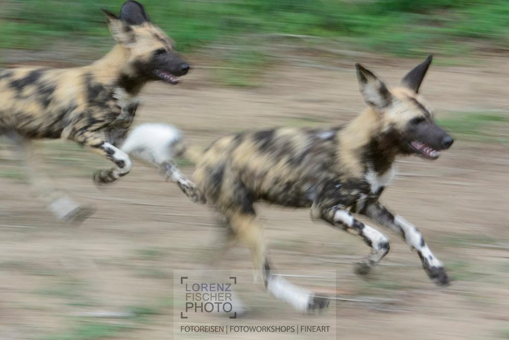 Afrikanischer Wildhund (Lycaon pictus) aus dem Inyati Private Game Reserve im Westen des Krueger Nationalparks zu Beginn der Regenzeit im November