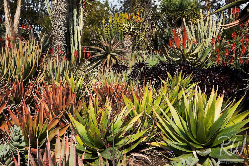Aloe Vera Flowers Blooming in Desert Garden at The Huntington Botanical Gardens, San Marino, California