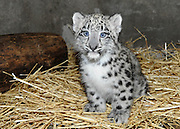 Snow Leopard Cub Born at Brookfield Zoo<br /> <br /> A 2-month-old snow leopard cub born at Brookfield Zoo on June 13 is currently growing by leaps and bounds in an off-exhibit den with his mom, Sarani. Until the cub is 3 months old, he will remain there bonding with his mom before making his public debut in mid-September. Snow leopards are listed as an endangered species by the International Union for Conservation of Nature (IUCN). Their numbers, which are estimated to be between 3,500 and 7,000 in the wild, are declining due to human influence such as poaching for medicinal markets and hides, depletion of their prey base, retribution killing following livestock losses, residential and commercial development, and civil unrest.<br /> ©Brookfield Zoo/Exclusivepix