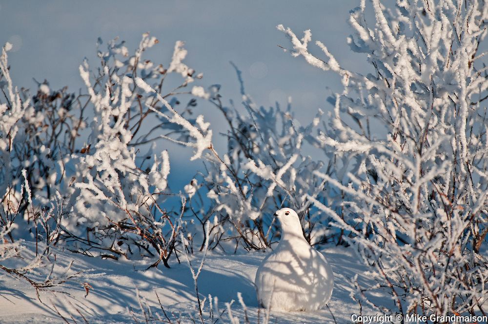 Willow ptarmigan  on hoarfrost covered tundra<br /> Churchill<br /> Manitoba<br /> Canada