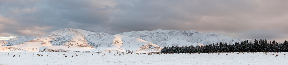 Sheep on snow covered pasture  , last light on background hills, Canterbury, New Zealand.