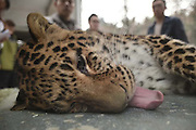 CHENGDU, CHINA - FEBRUARY 02: (CHINA OUT) <br /> <br /> Veterinarians check  leopards body at Chengdu Zoo on February 2, 2016 in Chengdu, Sichuan Province of China. 9 leopards and panthers moved to new rooms to welcome the New Year at Chengdu Zoo.<br /> ©Exclusivepix Media