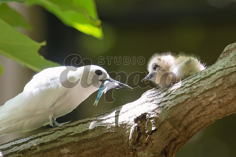 An adult white tern feeding a chick. The white tern (Gygis alba), or manu-o-Ku in Hawaiian, is the official bird of Honolulu. Photographed in Honolulu, Hawaii.