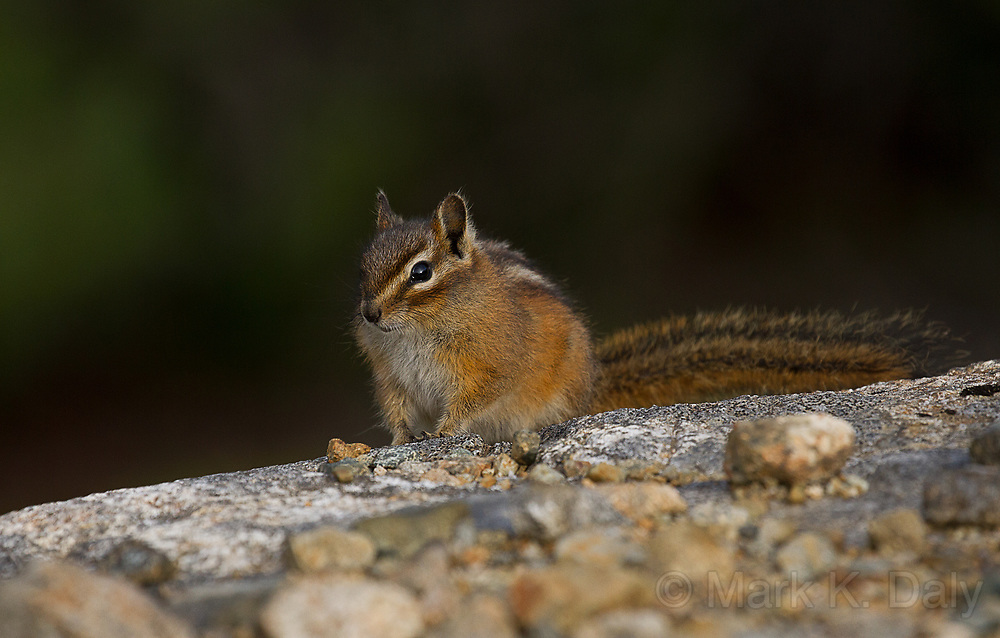 Northwestern Chipmunk