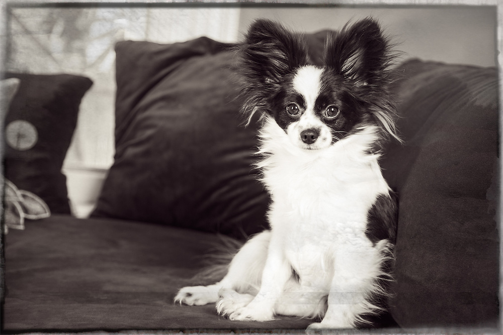 pet portrait, pet photographer, pet photography, Boston, MA, photographer, Papillon