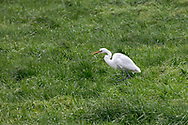 A Great Egret (Ardea alba) foraging in a field in Aldergrove, British Columbia, Canada.  Great Egrets are not normally found in this part of British Columbia, but this individual seemed to be doing fine snacking on earthworms.