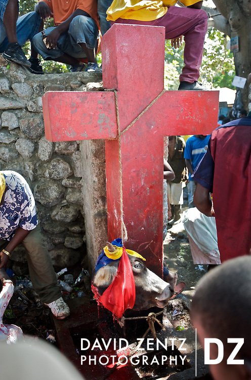 The head of sacrificed cow dangles from a cross at the annual voodou festival held in Plaine du Nord, Haiti on July, 24, 2008. The festival centers around St. Jacques' hole, a mud pit on the edge of the village, and honors the lwa Ogou, who presides over matters of war, politics, fire and iron, as well as St. James, the Catholic warrior saint. Animal sacrifice to appease the spirits is an intrinsic part of voodou. Catholicism and voodou are forever intertwined in Haiti.