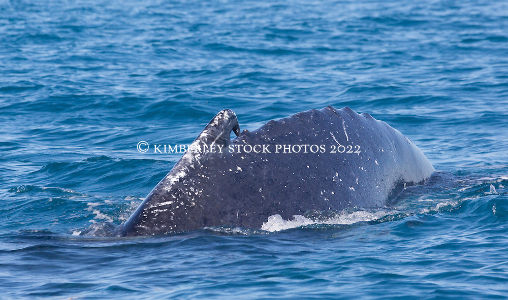 A Humpback whale with a distinctive hooked dorsal fin swims off Broome's Cable Beach.