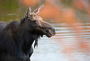 Moose in Grand Tetons National Park, Jackson, Wyoming