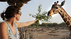 Image ©Licensed to i-Images Picture Agency. 15/06/2009.A visitor on a game drive feeds the Giraffes on Sir Bani Yas Island, in the United Arab Emirates, a former private nature reserve belonging to the late Sheikh Zayed, The founder of the United Arab Emirates ,the Island  has been recently opened to the public and is the first safari in the United Arab Emirates s Picture by Andrew Parsons / i-Images