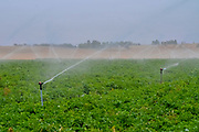 Watering agricultural fields with sprinklers. Photographed in Israel