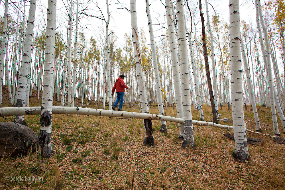 A man enjoys quiet time while walking on a fallen Aspen tree near Crested Butte, Colorado.