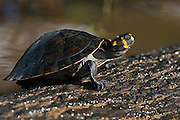 Yellow-spotted River Turtle (Podocnemis unifilis)<br /> Rain Forest<br /> Iwokrama Reserve<br /> GUYANA<br /> South America<br /> IUCN: VULNERABLE