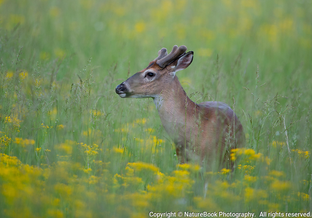 A young buck is growing his antlers while walking through the beautiful tall yellow flowers in a meadow at Cade's Cove in Great Smoky Mountains National Park.