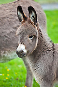 Donkey foal in Connemara, County Galway, Ireland