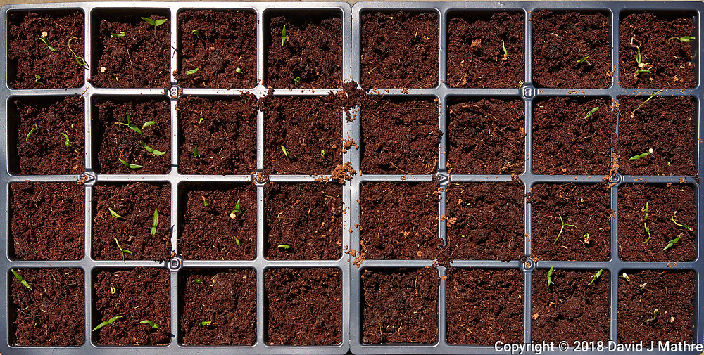 Pepper Plant Seedlings (Day 9). Image taken with a Leica CL camera and 23 mm f/2 lens