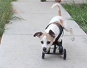 """Oak Creek, Colorado, USA -<br /> Kandu - the little dog that could<br /> <br /> Kandu was born without front legs. His original owners, fearing the Jack Russell terrier would never have a normal life, left him at a local shelter to be euthanized.<br /> <br /> Ken Rogers and his wife, Melissa, were watching the news one night at their home near Steamboat Springs, Colorado when they saw a segment on Kandu which melted their hearts.<br /> <br /> They immediately applied to adopt him - along with 99 other families.<br /> <br /> When Ken and Melissa brought Kandu home, Ken got right to work on a contraption made of molded plastic and rollerblade wheels so Kandu could get around.<br /> <br /> """"Now he can run with the other dogs,"""" says Ken, who even designed a mono-ski for Kandu so he can play in the snow.<br /> <br /> """"He doesn't think he's handicapped,"""" says Ken. """"He's got such spirit.""""<br /> <br /> Meanwhile, Melissa has been visiting nearby Yampa Valley Medical Center with Kandu to lift patients' spirits. When it is time for his """"shift,"""" Kandu runs towards the hospital doors. """"He's pure joy,"""" says Melissa.<br /> <br /> Patients who are struggling to recover from strokes, accidents, serious illness or operations react when they see Kandu scampering around. Perhaps they think """"If Kandu can do it, maybe I can too.""""<br /> <br /> Kandu has been so successful at getting around on just two legs that Ken and Melissa have adopted a playmate for him - Luci - a Chihuahua which was also born without any front legs. <br /> (Credit Image: © John F. Russell/Exclusivepix)"""