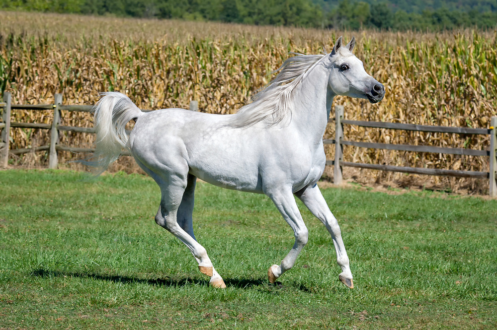 Horse running in summer field in side view, a very beautiful white Arabain stallion.
