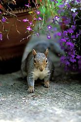 Grey squirrel on a garden patio, Leicestershire, England, UK.