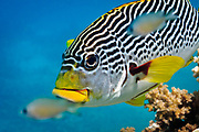 Diagonal banded Sweetlips fish (Plectorhinchus lineatus) on tropical coral reef - Agincourt reef, Great Barrier Reef. Also commonly known as  Yellow-banded Sweetlips, Oblique-banded Sweetlips or Goldman's Sweetlips.