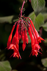 Red flowers of a Fucshia