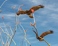 HARRIS'S HAWK: SOCIAL GROUPS