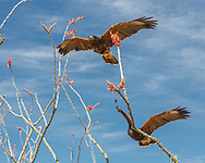Hunting Harris's hawks fly through blooming ocotillo, Sonoran Desert, Arizona. © 2012 David A. Ponton