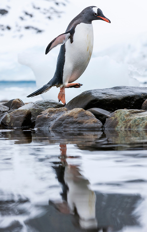 Antarctica, Cuverville Island, Gentoo Penguin (Pygoscelis papua) hopping across rocks past icebergs along Errera Channel