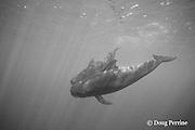 a pair of short-finned pilot whales, Globicephala macrorhynchus, South Kona, Hawaii, U.S.A. ( Central Pacific Ocean )
