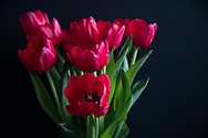 Still Life with gorgeous lipstick pink tulips. Santa Monica, CA 2.9.17