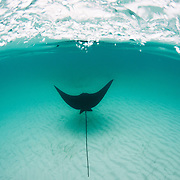 An eagle Ray soars over the famous shallow sand banks near Bimini, Bahamas.