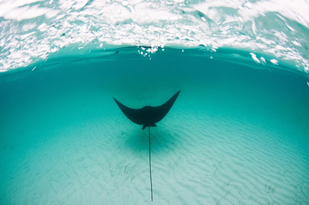 An eagle Ray soars over the famous shallow sand banks near Bimini, Bahamas.