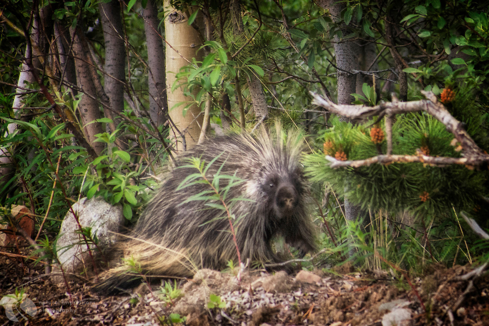 Biggest Porcupine I've ever seen on a roadside walk near Whitehorse..   Near Whitehorse.