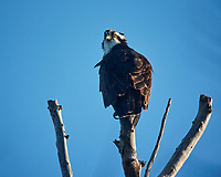 Osprey perched in the morning sun at Fort De Soto park. Image taken with a Nikon One V3 camera and 70-300 mm VR lens (ISO 200, 300 mm, f/5.6, 1/640 sec).